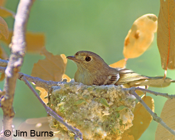 external image Hutton's-Vireo-on-nest.jpg