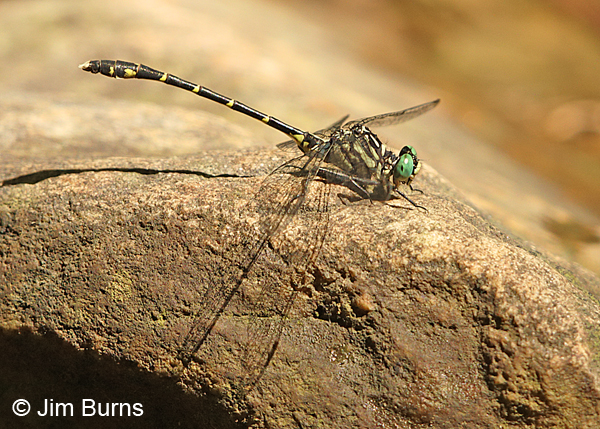 Interior Least Clubtail male, Huntingdon Co., PA, May 2015