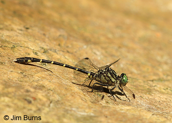 Interior Least Clubtail male, Montgomery Co. AR, May 2015
