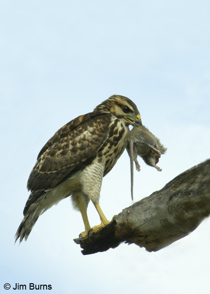 Gray Hawk juvenile with prey