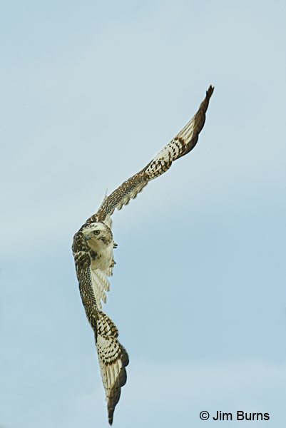 Krider's Red-tailed Hawk in flight