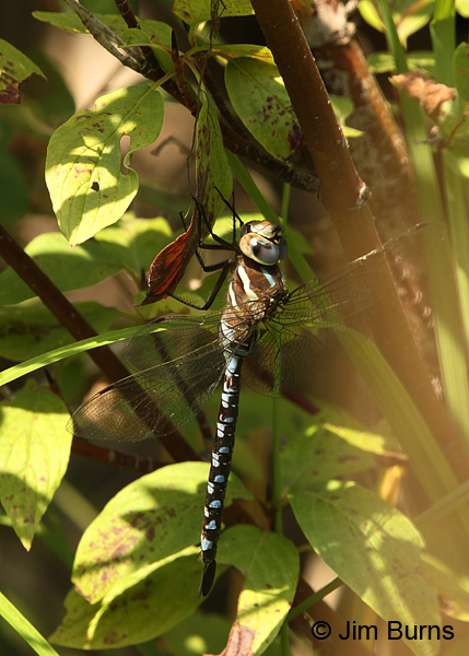 Lance-tipped Darner andromorph female, Klamath Co., OR, August 2015