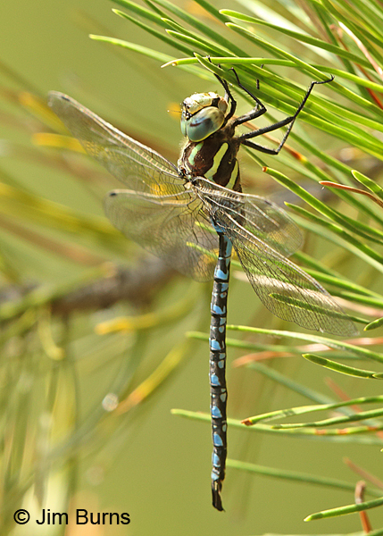 Lance-tipped Darner male, Klamath Co., OR, August 2015