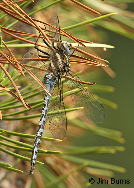 Lance-tipped Darner male #2, Klamath Co., OR, August 2015