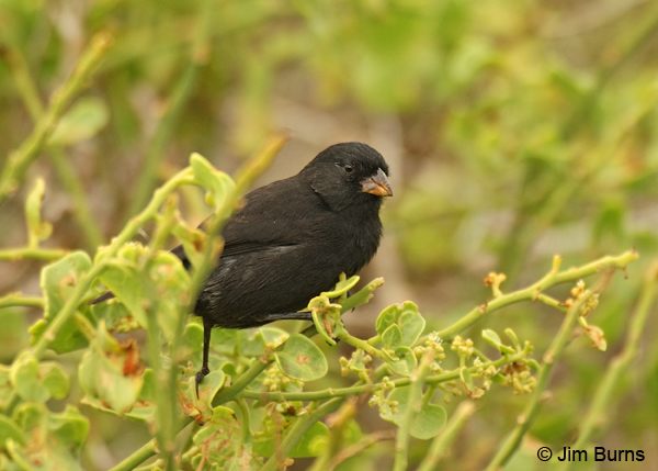 Large Ground-Finch male