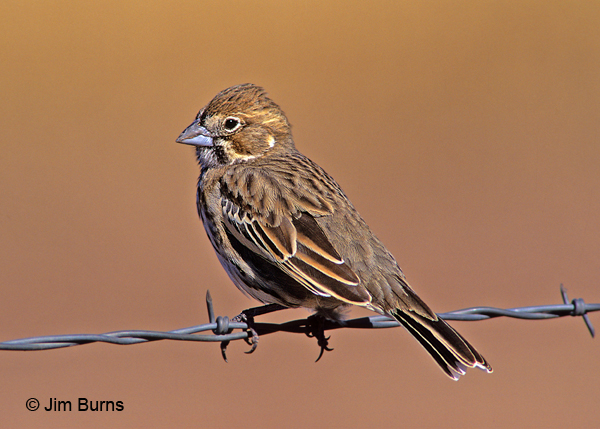 Lark Bunting winter dorsal view