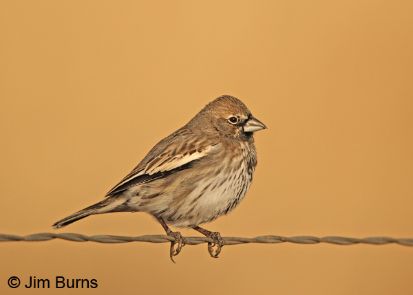Lark Bunting winter male