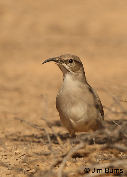 Le Conte's Thrasher under bush