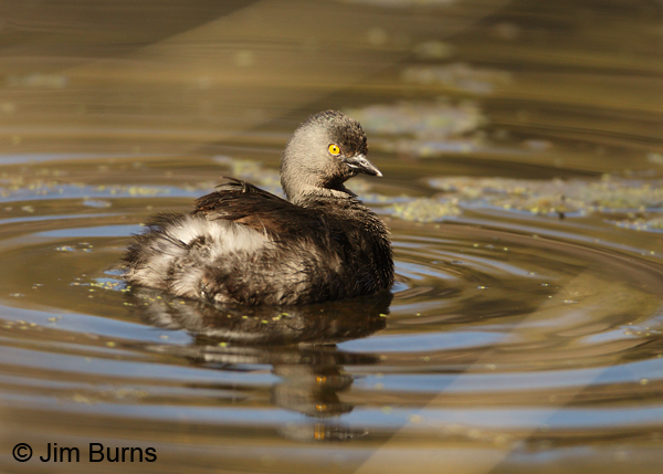Least Grebe breeding plumage