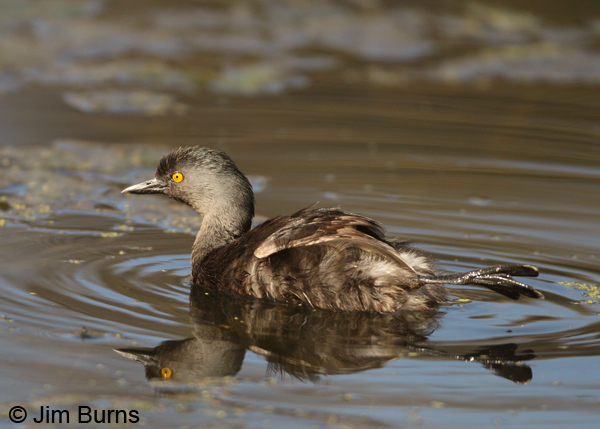 Least Grebe paddle