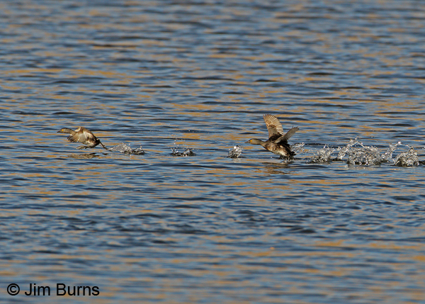 Least Grebe territorial defense