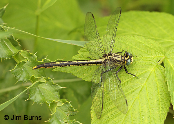 Lilypad Clubtail female, Washington Co., MN, June 2014