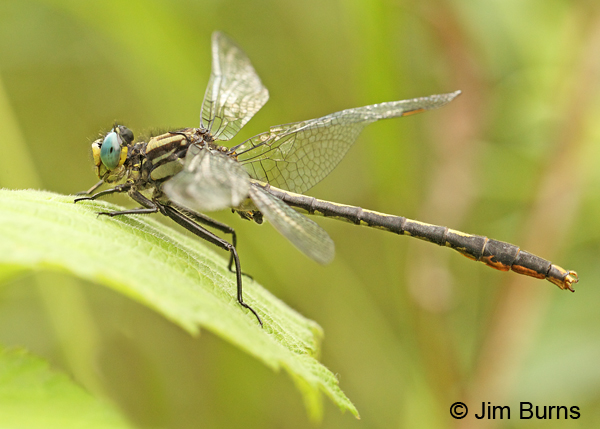 Lilypad Clubtail male, Washington Co., MN, June 2014