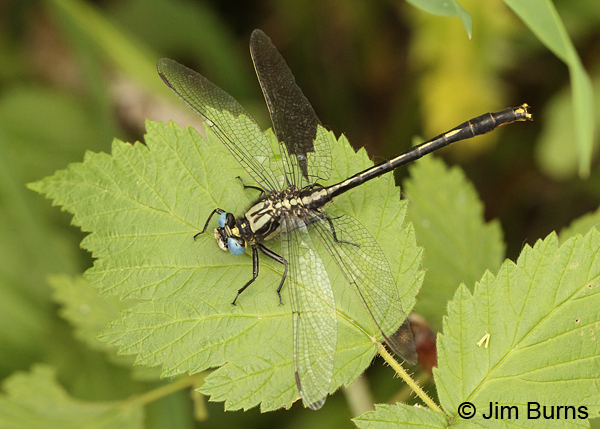 Lilypad Clubtail male dorsal view showing golden claspers, Washington Co., MN, June 2014