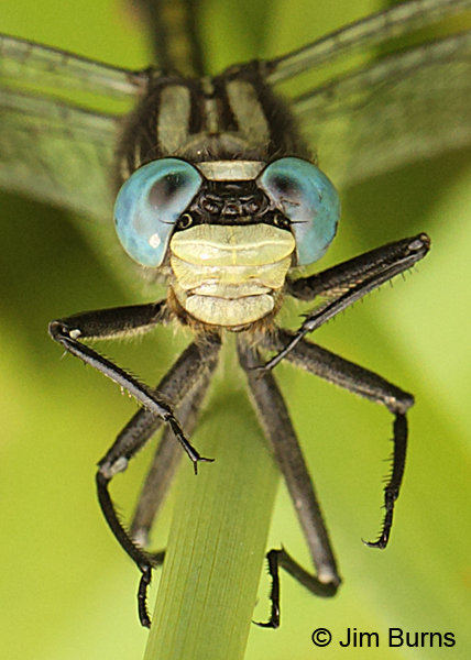 Lilypad Clubtail male face shot, Washington Co., MN, June 2014