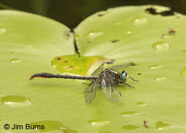 Lilypad Clubtail male on Lilypad, Washington Co., MN, June 2014