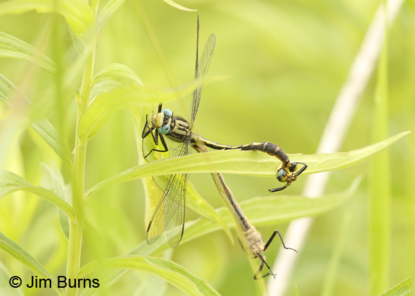 Lilypad Clubtail pair in wheel interrupted by Common Green Darner attack, Washington Co., MN, June 2014