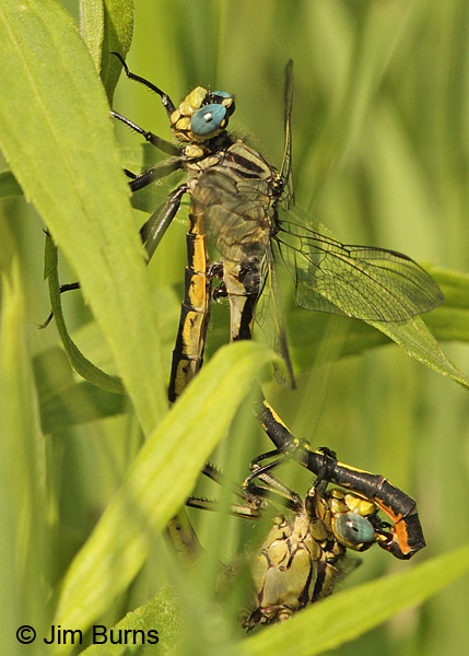 Lilypad Clubtail pair in wheel in grass, Washington Co., MN, June 2014