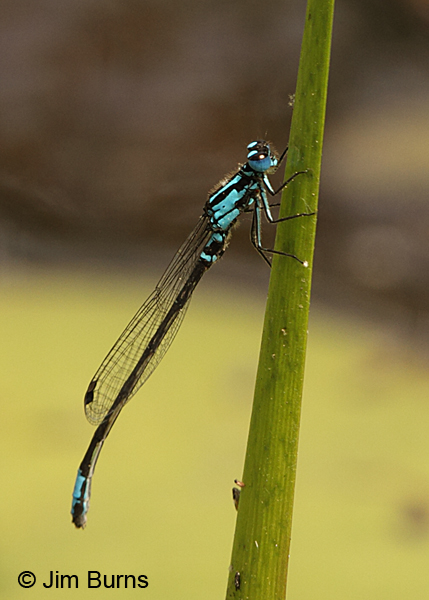 Lilypad Forktail male on reed, Chesterfield Co., SC, May 2014