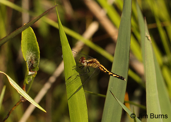 Little Blue Dragonlet female, Chesterfield Co., SC, May 2014