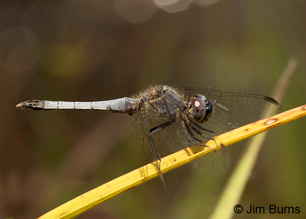 Little Blue Dragonlet male, Chesterfield Co., SC, May 2014