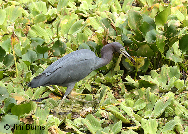Little Blue Heron adult with spider