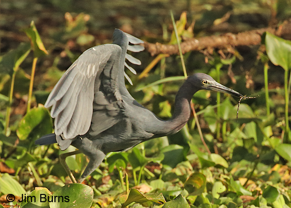 Little Blue Heron adult with large worm