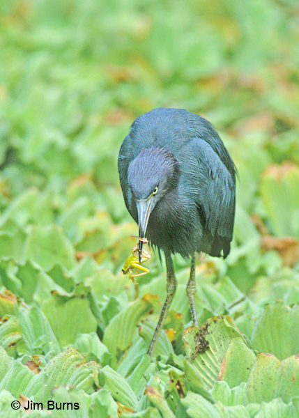 Little Blue Heron adult with frog
