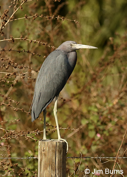 Little Blue Heron adult