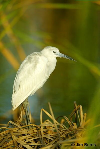 Little Blue Heron juvenile