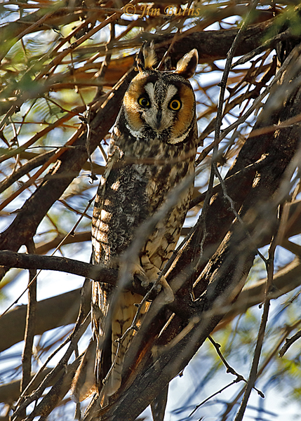Long-eared Owl--1701