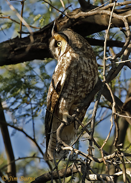 Long-eared Owl on day roost--1709