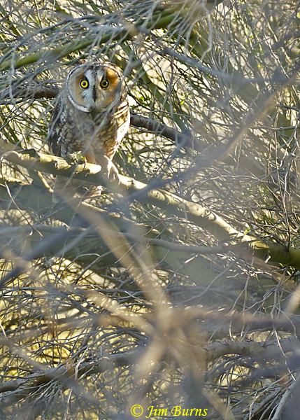 Long-eared Owl in typical winter habitat #2--57