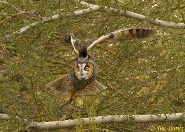 Long-eared Owl coming out of mesquite--0250