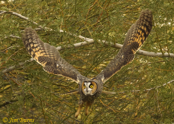 Long-eared Owl incoming--0251