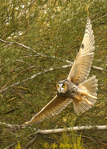 Long-eared Owl banking--0253
