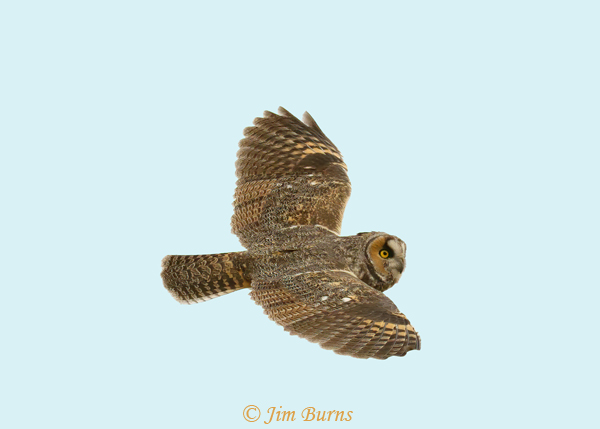 Long-eared Owl in flight soaring--0259