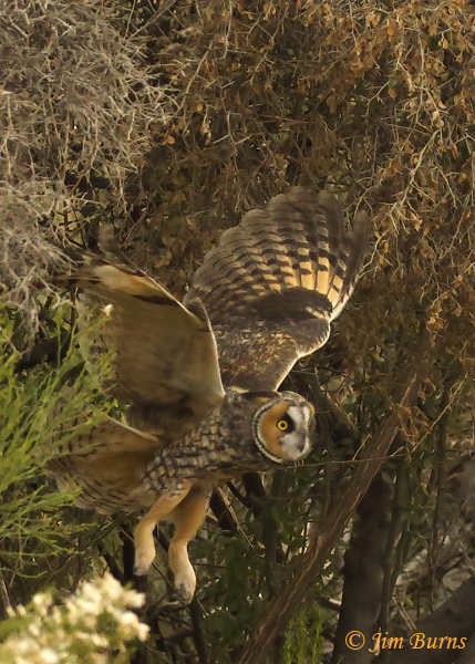 Long-eared Owl coming out of mesquite #2--0368