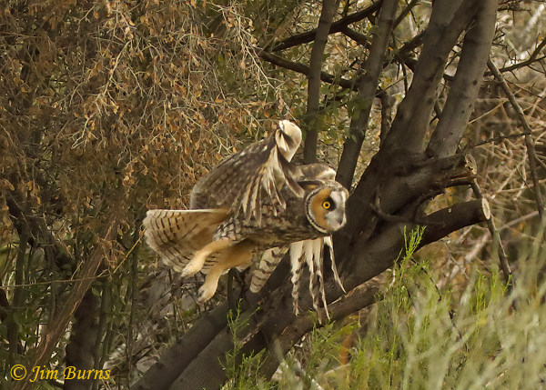 Long-eared Owl coming out of mesquite #4--0369