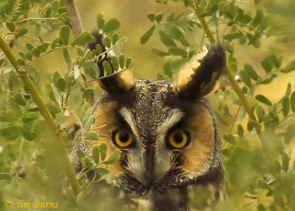 Long-eared Owl facial disk close-up--0421