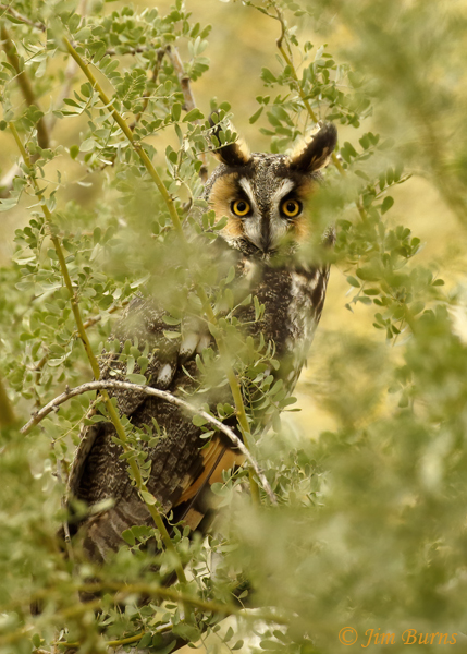Long-eared Owl classic camouflage--0425