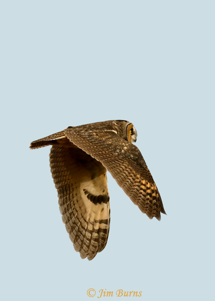 Long-eared Owl in flight banking--1877