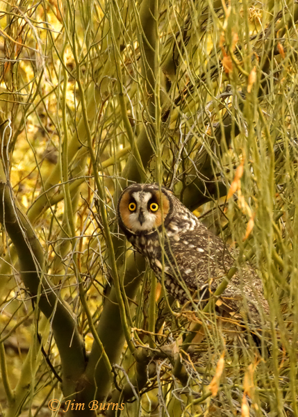 Long-eared Owl in mesquite--1879