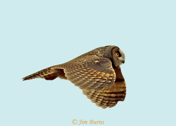 Long-eared Owl in flight--1896
