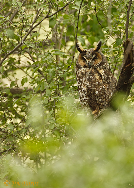 Long-eared Owl in habitat--6836