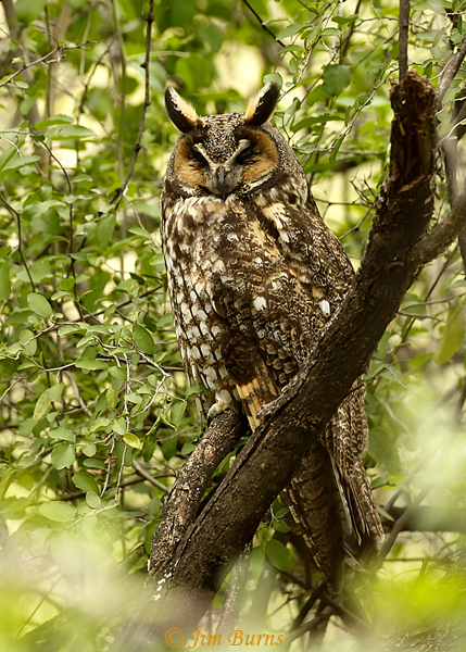 Long-eared Owl sleeping--6839