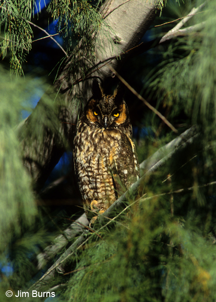 Long-eared Owl camouflage