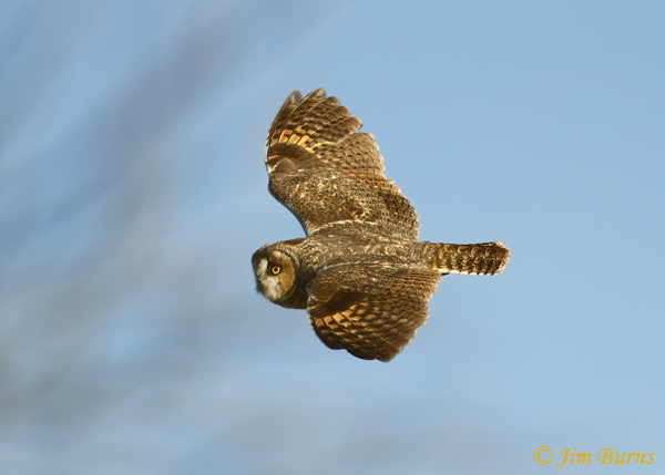 Long-eared Owl in flight dorsal view--5766