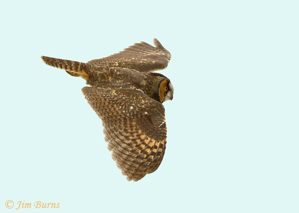 Long-eared Owl in flight descending--0270