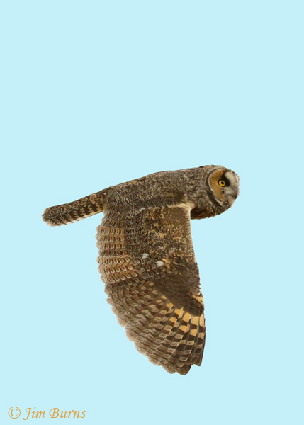 Long-eared Owl in flight downstroke--0261